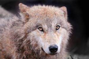 「続・元祖イクメンはオオカミ」